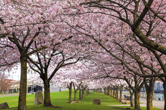 Rows of Cherry Blossom Trees in Bloom Royalty Free Stock Photos