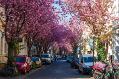 Rows of cherry blossom trees Royalty Free Stock Image