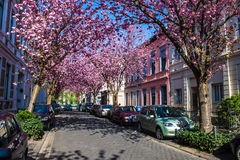 Rows of cherry blossom trees Royalty Free Stock Images