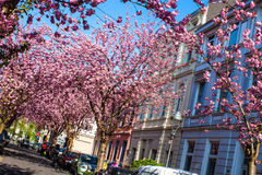 Rows of cherry blossom trees Stock Photo