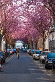 Rows of cherry blossom trees Stock Images