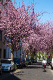 Rows of cherry blossom trees Royalty Free Stock Photography