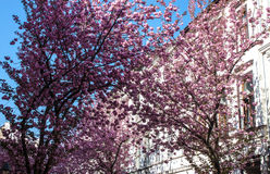 Rows of cherry blossom trees Royalty Free Stock Photo