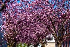 Rows of cherry blossom trees Stock Photos
