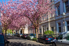 Rows of cherry blossom trees on Heerstrasse in Bonn Royalty Free Stock Photography