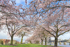 Rows of Cherry Blossom Trees in Spring Stock Photos