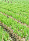Rows of Chives. Rows of green chives in a large vegetable garden Stock Image