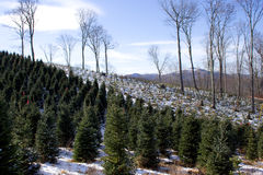 Rows of Christmas Trees. Christmas tree farm in the mountains of North Carolina royalty free stock image