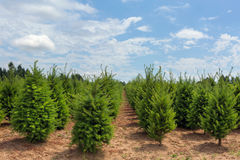 Rows of Christmas Trees at Farm in Oregon Royalty Free Stock Photo