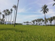 Rows of coconut trees in a rice field stock photo
