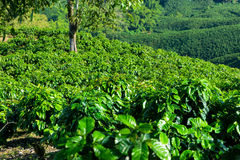 Rows of Coffee Plants Stock Photos