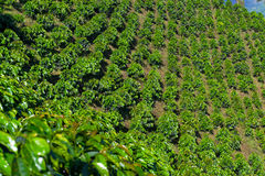 Rows of Coffee Plants Stock Image