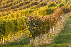 Rows and colored lines of vineyard in autumn day Stock Photo