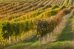 Rows and colored lines of vineyard in autumn day Stock Image