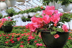 Rows of colorful flowers hanging in pots. Rows of bright colorful flowers in hanging pots under protection of local nursery greenhouse Royalty Free Stock Images
