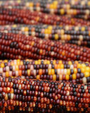 Rows of Colorful Indian Corn Royalty Free Stock Photo