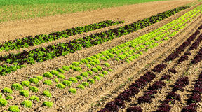 Rows of colorful lettuce plants in field. Rows of colorful salad plants in the field Royalty Free Stock Image