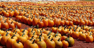 Rows of Colorful Pumpkins. Rows of pumpkins lined up neatly for sale for autumn and the Halloween and Thanksgiving holidays Stock Photos