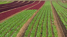 Rows of colorful rainbow of agricultural fields of crops lettuce plants, including green, red, purple varieties. Spring time Royalty Free Stock Photo