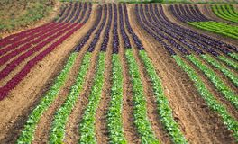 Rows of colorful rainbow of agricultural fields of crops lettuce plants, including green, red, purple varieties. Spring time Royalty Free Stock Photos
