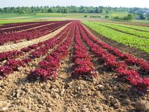 Rows of colorful rainbow of agricultural fields of crops lettuce plants, including green, red, purple varieties. Spring time Stock Photo