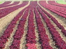 Rows of colorful rainbow of agricultural fields of crops lettuce plants, including green, red, purple varieties. Spring time Stock Photos