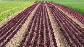 Rows of colorful rainbow of agricultural fields of crops lettuce plants, including green, red, purple varieties. Spring time Royalty Free Stock Image