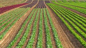 Rows of colorful rainbow of agricultural fields of crops lettuce plants, including green, red, purple varieties. Spring time Royalty Free Stock Images