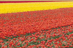 Rows of colorful tulips in flower field in holland Stock Photography