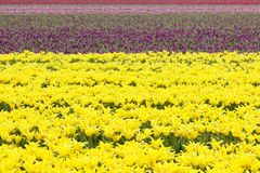 Rows of colorful tulips in flower field in holland Stock Photos