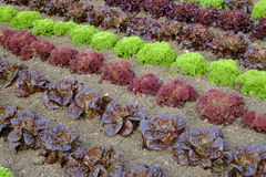 Rows of colourful lettuce salad leaf plants. Full frame close up Stock Images