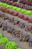 Rows of colourful lettuce salad leaf plants. Full frame close up Stock Photos