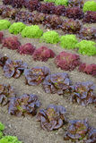 Rows of colourful lettuce salad leaf plants. Full frame close up Stock Image