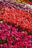 Rows of colourful tulips Stock Image