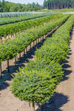 Rows of conifer shrubs in a nursery Stock Images
