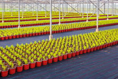 Rows of conifer sprouts in a greenhouse. Large rows of young conifer sprouts in a greenhouse Royalty Free Stock Images