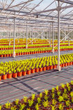 Rows of conifer sprouts in a greenhouse. Large rows of young conifer sprouts in a greenhouse Royalty Free Stock Photos