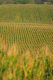 Rows of corn stock images