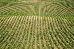 Rows of Corn. Rows of new corn - graphic image Stock Images