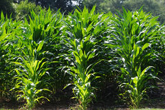 Rows of Corn. A close up of a field of young corn Royalty Free Stock Photos