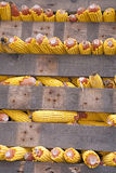 Rows of corn cobs Royalty Free Stock Image