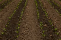 Rows Corn of Crops Growing. In a field, thailand stock image