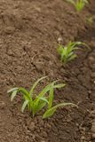Rows Corn of Crops Growing. In a field, thailand royalty free stock photo