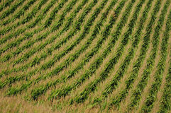 Rows of corn on a farm for harvesting Royalty Free Stock Image