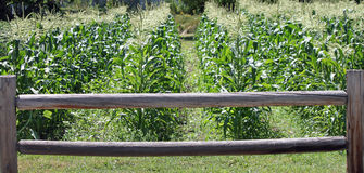 Rows of Corn Growing Behind a Wooden Fence Stock Photography