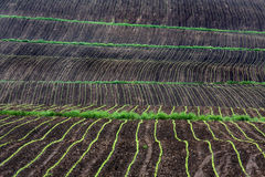 Rows of corn growing in field. Scenic view of rows of corn seedlings growing in field, agricultural scene Stock Image