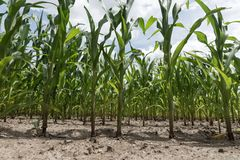Rows of corn maize growing in the field. Rows of green corn maize growing in the field Royalty Free Stock Image