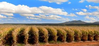 Rows of corn Stock Photo