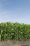 Rows of corn plants Royalty Free Stock Photo