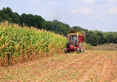 Rows of corn ready for harvest Royalty Free Stock Photography